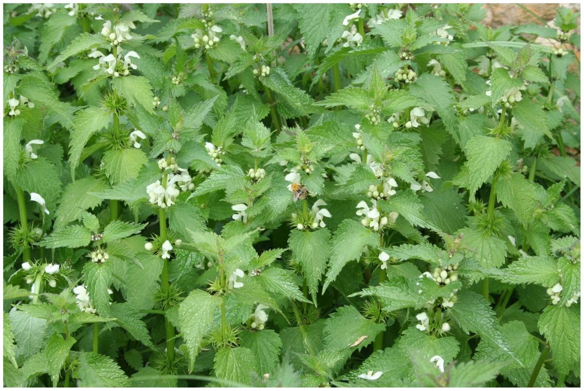 Orties piqures for Plante urticante
